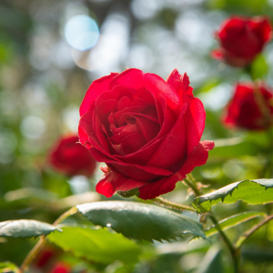 rose - mot du glossaire Tête à modeler. Définition et activités associées au mot rose.