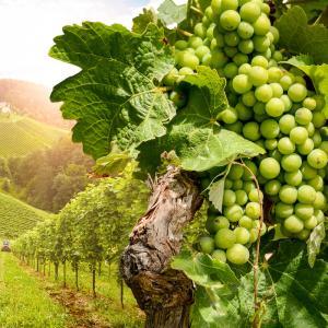 vigne - mot du glossaire Tête à modeler. Définition et activités associées au mot vigne.