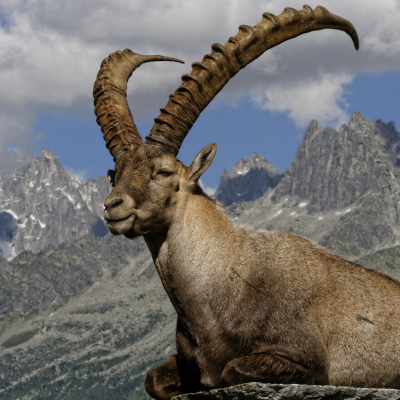 Bouquetin - mot du glossaire Tête à modeler. Le bouquetin est une chèvre sauvage à longues cornes  Définition et activités associées au mot bouquetin.