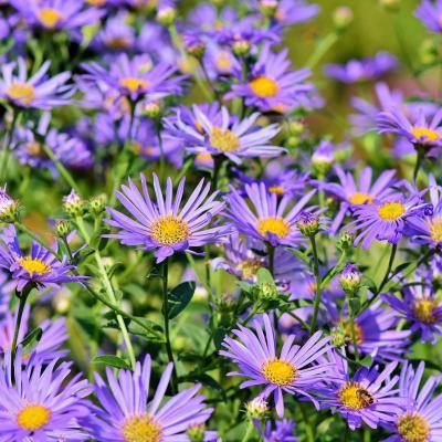 Aster: Mot du glossaire Tête à modeler. L'aster est une plante dont les fleurs  sont en forme de petite étoile. Activités associées