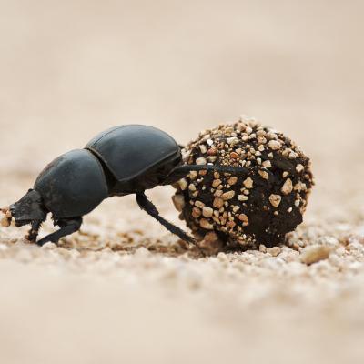 bousier - mot du glossaire Tête à modeler. Le bousier est un insecte coléoptère Définition et activités associées au mot bousier.