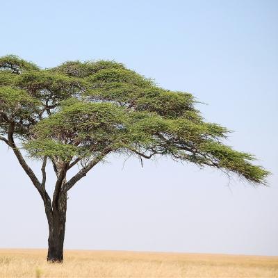Acacia : Mot du glossaire Tête à modeler. Un acacia est un arbre épineux portant des fleurs jaunes, blanches ou roses en grappes.