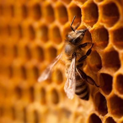 Abeille : Mot du glossaire Tête à modelerAbeille: L'abeille est un insecte vivant dans une ruche et produisant du miel. L'abeille est originaire d'Afrique et d'Europe, mais elle a été introduite sur les
