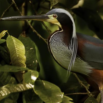 Agami : Mot du glossaire Tête à modeler. L'agami est un oiseau d'Amérique du sud au dos voûté et au plumage noir.   Activités associées.