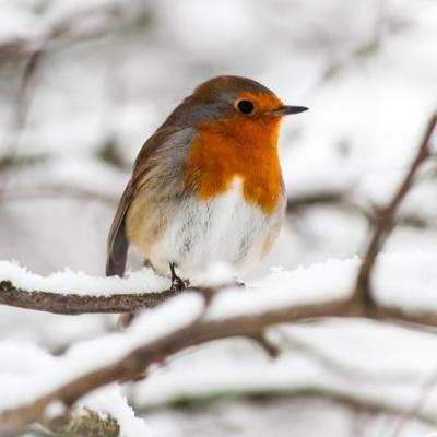 Comprendre pourquoi l'hiver est dur pour les oiseaux. Apprendre à nourrir les oiseaux de nos jardins, en connaissant les règles à respecter.
