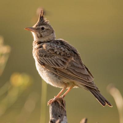 Alouette: Mot du glossaire Tête à modeler. L'alouette est un petit oiseau des champs au plumage brun. Activités associées.