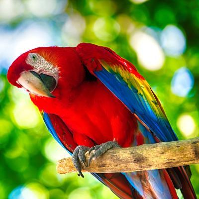 Ara : Mot du glossaire Tête à modeler. Un ara est un grand perroquet d'Amérique du sud.  Activités associées.
