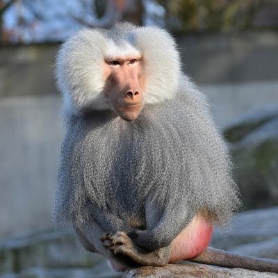Babouin - mot du glossaire Tête à modeler. Babouin : Le babouin est un singe d'afrique. Définition et activités associées au mot babouin.