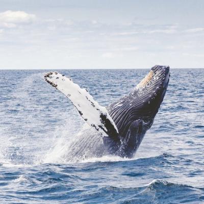 Baleine - mot du glossaire Tête à modeler. Une baleine est un grand mammifère marin. Définition et activités associées au mot baleine.