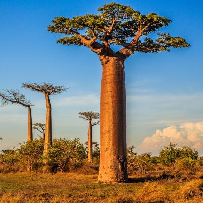 baobab - mot du glossaire Tête à modeler. Le baobab est un instrument de musique. Définition et activités associées au mot baobab.