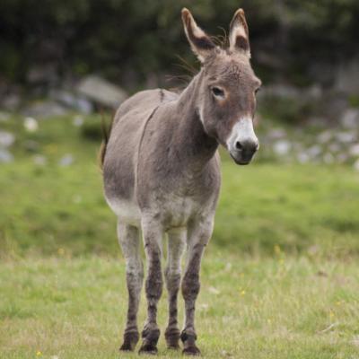 baudet - mot du glossaire Tête à modeler. Un baudet est un âne. Définition et activités associées au mot baudet.