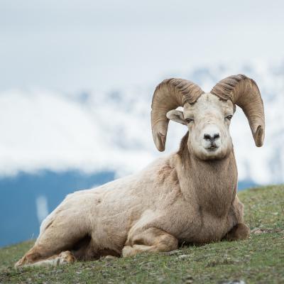 Bélier - mot du glossaire Tête à modeler. Un bélier est un mouton mâle. Définition et activités associées au mot baobab.