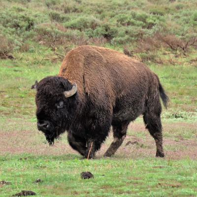 Bison - mot du glossaire Tête à modeler. Le bison est un boeuf sauvage d'Amérique, c'est un mammifère.  Définition et activités associées au mot bison.