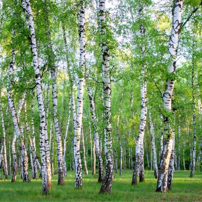 Bouleau - mot du glossaire Tête à modeler. Un bouleau est un arbre à écorce blanche. Définition et activités associées au mot bouleau.