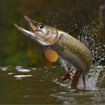 brochet - mot du glossaire Tête à modeler. Le brochet est un poisson d'eau douce. Définition et activités associées au mot brochet.