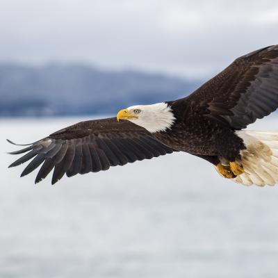 Aigle : Mot du glossaire Tête à modeler. L'aigle est un oiseau de proie de grande envergure au niveau des ailes. Activités associées.