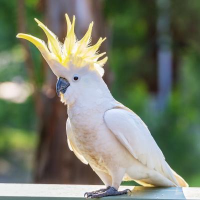 cacatoes - mot du glossaire Tête à modeler. Le cacatoès est un perroquet de couleur unie. Définition et activités associées au mot cacatoes.
