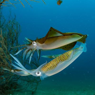 calamar - mot du glossaire Tête à modeler. Le calamar est un calmar. Définition et activités associées au mot calamar.