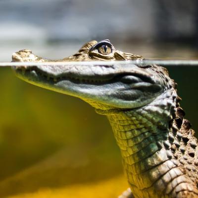 caiman - mot du glossaire Tête à modeler. Le caïman est un reptile voisin du crocodile. Définition et activités associées au mot caiman.