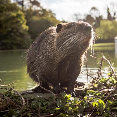 Castor - mot du glossaire Tête à modeler. Le castor est un mammifère rongeur. Définition et activités associées au mot castor.