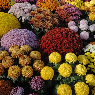chrysantheme - mot du glossaire Tête à modeler.   Définition et activités associées au mot chrysantheme.