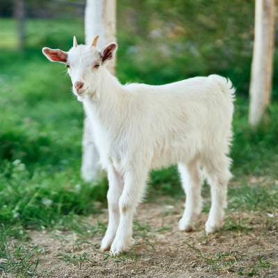 ch,èvre - mot du glossaire Tête à modeler.   Définition et activités associées au mot chèvre.