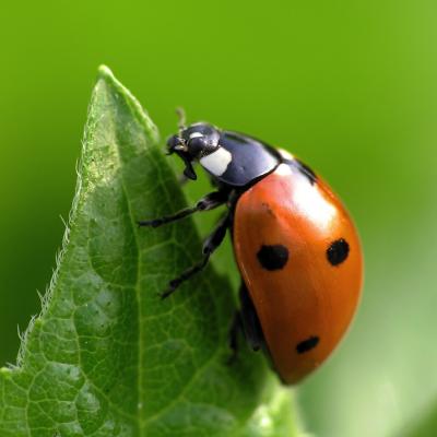 coccinelle - mot du glossaire Tête à modeler. La coccinelle est un petit insecte coléoptère.  Définition et activités associées au mot coccinelle.