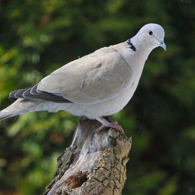 colombe - mot du glossaire Tête à modeler.   Définition et activités associées au mot colombe.