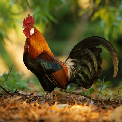 coq - mot du glossaire Tête à modeler. Le coq est un oiseau.  Définition et activités associées au mot coq.