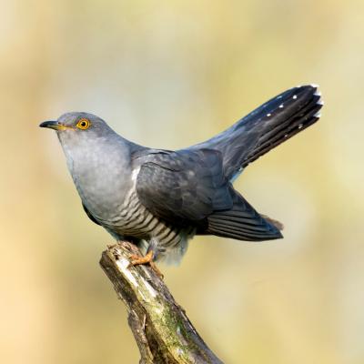 coucou - mot du glossaire Tête à modeler. Le coucou esst un oiseau et une plante. Définition et activités associées au mot coucou.