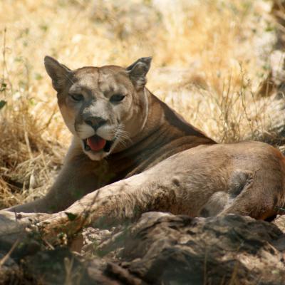 cougouar - mot du glossaire Tête à modeler. Le cougouar est un grand félin.  Définition et activités associées au mot cougouar.