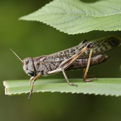 criquet - mot du glossaire Tête à modeler. Le criquet est un insecte sauteur. Définition et activités associées au mot criquet.