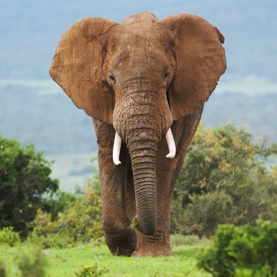 Elephant - mot du glossaire Tête à modeler. Définition et activités associées au mot Elephant.