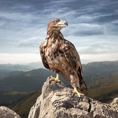 faucon - mot du glossaire Tête à modeler. Définition et activités associées au mot faucon.