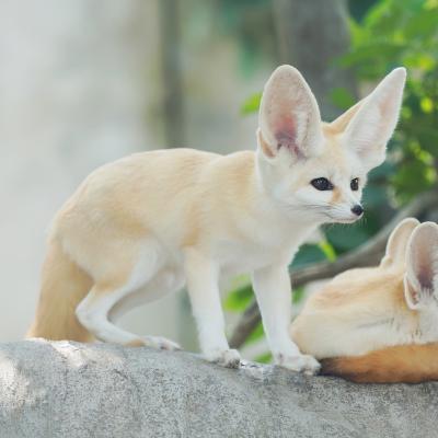 fennec- mot du glossaire Tête à modeler.  Un fennec est un petit renard... Définition et activités associées au mot fennec.