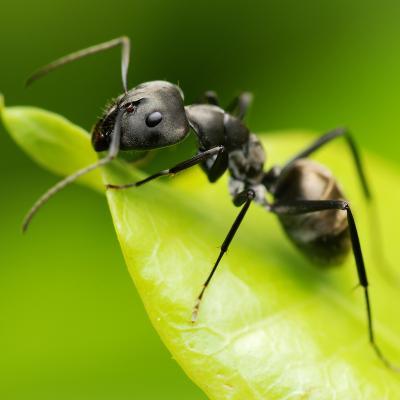 fourmi - mot du glossaire Tête à modeler. Définition et activités associées au mot fourmi.