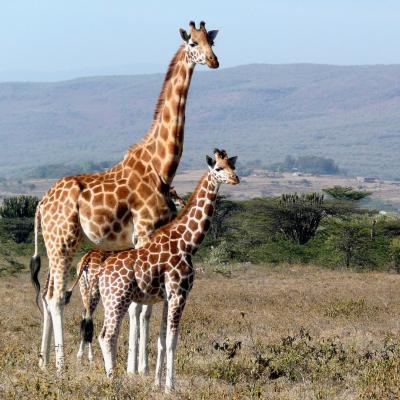 girafe - mot du glossaire Tête à modeler. Définition et activités associées au mot girafe.