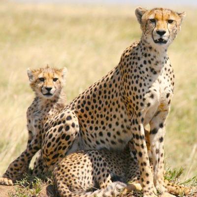 guepard - mot du glossaire Tête à modeler. Définition et activités associées au mot guepard.