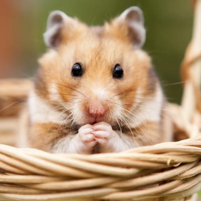 hamster - mot du glossaire Tête à modeler. Définition et activités associées au mot hamster.