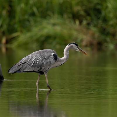 heron - mot du glossaire Tête à modeler. Définition et activités associées au mot heron.