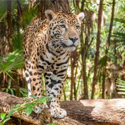 jaguar - mot du glossaire Tête à modeler. Définition et activités associées au mot jaguar.