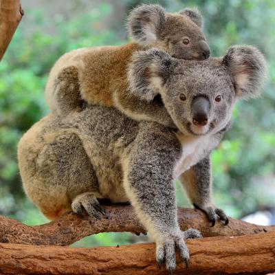 koala - mot du glossaire Tête à modeler. Définition et activités associées au mot koala.