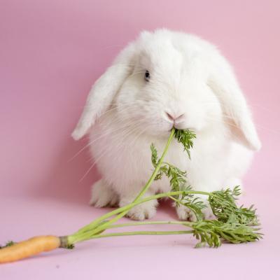 lapin - mot du glossaire Tête à modeler. Définition et activités associées au mot lapin.