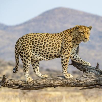 leopard - mot du glossaire Tête à modeler. Définition et activités associées au mot leopard.