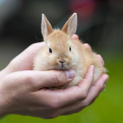 Bien que le lapin nain demande peu de soins quotidiens, il est indispensable de veiller à son confort. Il le rendra par son affection et sa vitalité !