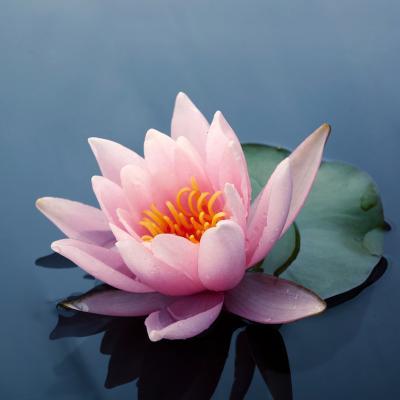 lotus - mot du glossaire Tête à modeler. Définition et activités associées au mot lotus.