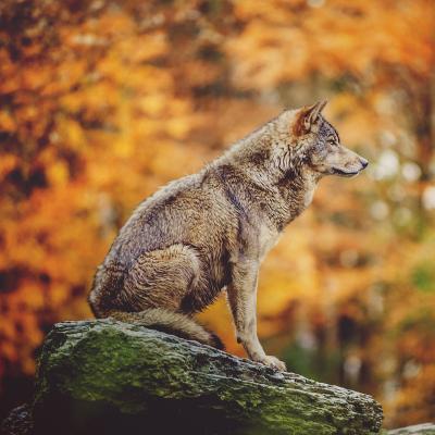 loup - mot du glossaire Tête à modeler. Définition et activités associées au mot loup.
