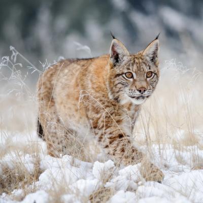 lynx - mot du glossaire Tête à modeler. Définition et activités associées au mot lynx.