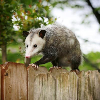 opossum - mot du glossaire Tête à modeler. Définition et activités associées au mot opossum.