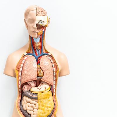 organe - mot du glossaire Tête à modeler. Définition et activités associées au mot organe.